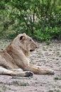 Free Lion Profile Stock Image - 9560811