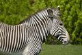 Free Zebra Stock Image - 9560961