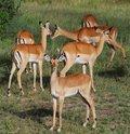 Free Impala Females Stock Photos - 9567633