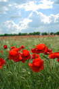 Free Red Poppies Field Royalty Free Stock Photography - 9567827