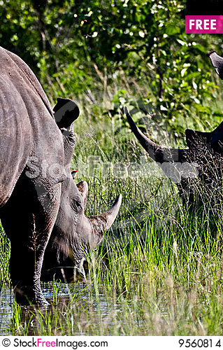 Free Rhino Horns Stock Images - 9560814