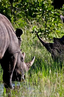 Rhino Horns Stock Images