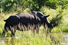 Free Rhino Grazing Royalty Free Stock Photo - 9560825