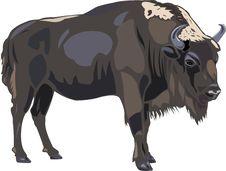 Free European Bison Royalty Free Stock Photography - 9561547