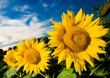 Free Gold Sunflowers Royalty Free Stock Photo - 9562035