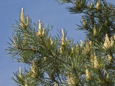 Free Pine Tree With New Cones Stock Photo - 9562770