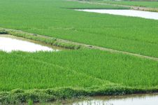 Free Paddy Field Royalty Free Stock Images - 9567379
