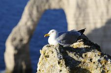 Free Seagull In The Mountain Cliff Stock Images - 9567384