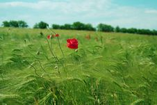 Free Red Poppies Field Stock Photo - 9567670