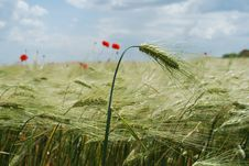 Free Red Poppies Field Stock Images - 9567724