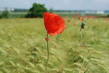 Free Red Poppies Field Stock Photos - 9567753