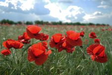 Free Red Poppies Field Stock Photography - 9567792