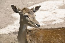 Free Spotted Deer Royalty Free Stock Image - 9567796