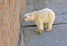 Free Arctic Bear Royalty Free Stock Photo - 9568605