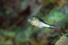 Free Puffer Fish Stock Image - 9568681