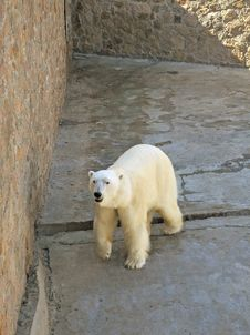 Free Arctic Bear Royalty Free Stock Photos - 9568688