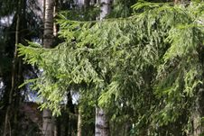 Free Fir Branch Royalty Free Stock Image - 9569756