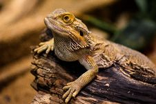 Free Reptile, Scaled Reptile, Lizard, Terrestrial Animal Stock Photos - 95607873