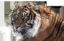 Free Tiger, Wildlife, Mammal, Fauna Stock Images - 95607994