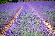 Free English Lavender, Lavender, Field, Purple Royalty Free Stock Photos - 95615758