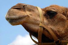 Free Camel, Camel Like Mammal, Arabian Camel, Snout Royalty Free Stock Image - 95619786