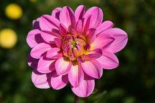 Free Flower, Pink, Flowering Plant, Plant Royalty Free Stock Photos - 95619848