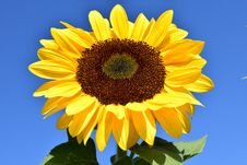 Free Flower, Sunflower, Yellow, Sunflower Seed Stock Images - 95620014