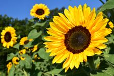 Free Flower, Sunflower, Yellow, Sunflower Seed Stock Photography - 95620022