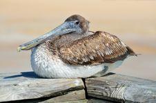 Free Bird, Pelican, Seabird, Beak Stock Images - 95621204