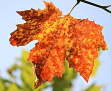 Free Leaf, Autumn, Maple Leaf, Tree Royalty Free Stock Photo - 95622205