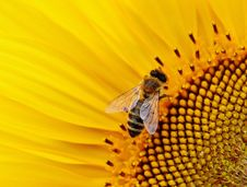 Free Honey Bee, Bee, Nectar, Insect Stock Photos - 95622723