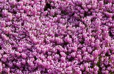 Free Purple, Pink, Plant, Flower Stock Image - 95623401