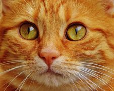 Free Cat, Whiskers, Face, Eye Stock Image - 95623841