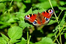 Free Butterfly, Insect, Moths And Butterflies, Brush Footed Butterfly Stock Image - 95624351