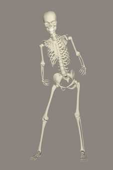 Free Skeleton, Joint, Standing, Shoulder Stock Photography - 95624492