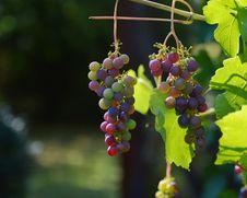 Free Grape, Grapevine Family, Fruit, Seedless Fruit Royalty Free Stock Images - 95624729