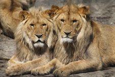 Free Wildlife, Lion, Terrestrial Animal, Mammal Royalty Free Stock Photography - 95624767