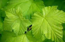 Free Leaf, Vegetation, Grape Leaves, Plant Royalty Free Stock Image - 95625096