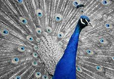 Free Peafowl, Feather, Galliformes, Organism Stock Photo - 95628210