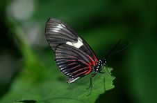 Free Black And Red Butterfly On Green Leaf Royalty Free Stock Photography - 95644247