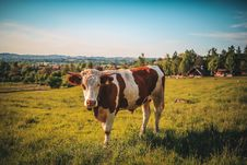 Free Cow On Pasture Stock Photography - 95644382