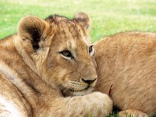 Free Photo Of Lioness Royalty Free Stock Images - 95644429