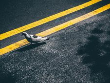 Free Gray And Black Bird Walking On Yellow Lined Gray Concrete Road Stock Images - 95644574