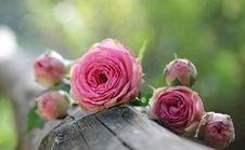 Free Flower, Pink, Rose, Rose Family Stock Images - 95658164