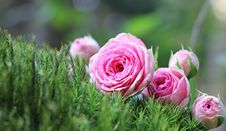 Free Flower, Pink, Rose Family, Rose Stock Photography - 95658422