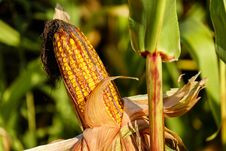 Free Maize, Food Grain, Close Up, Plant Stem Stock Photo - 95658820