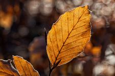 Free Leaf, Deciduous, Autumn, Branch Royalty Free Stock Images - 95659619