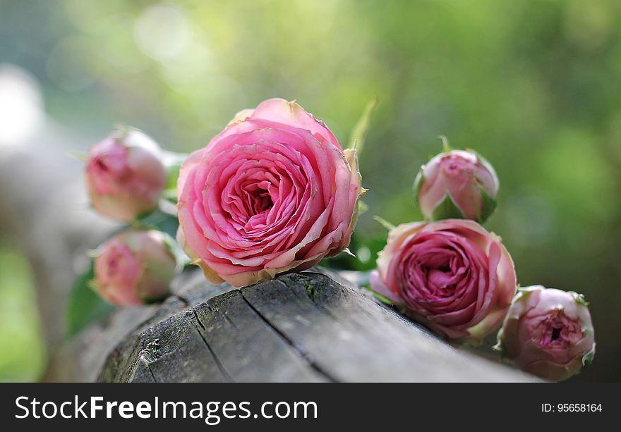 Flower, Pink, Rose, Rose Family
