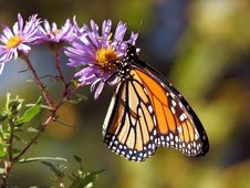 Free Butterfly, Moths And Butterflies, Monarch Butterfly, Insect Stock Photography - 95660452