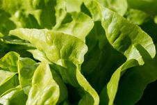Free Leaf Vegetable, Lettuce, Vegetable, Leaf Stock Images - 95661224
